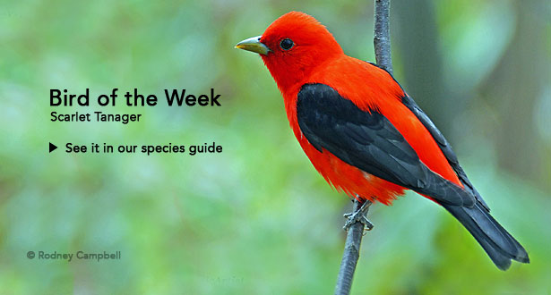 Bird of the Week: Scarlet Tanager