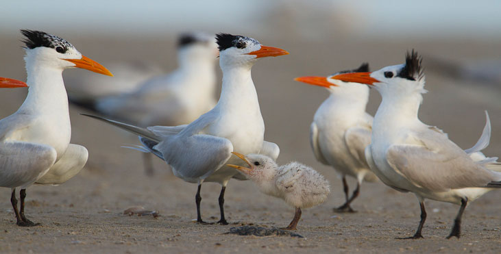 Royal Terns gather around a chick in Louisiana, July 2010