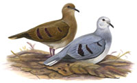 Purple-winged Ground-Dove