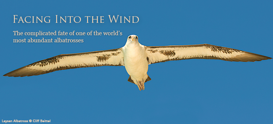 Laysan Albatrosses: Facing Into the Wind