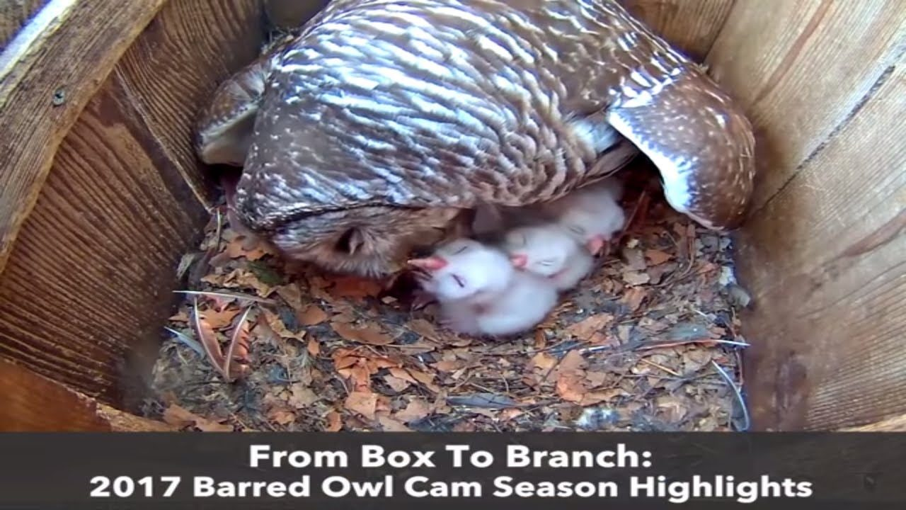 2017 Barred Owl Cam Highlights