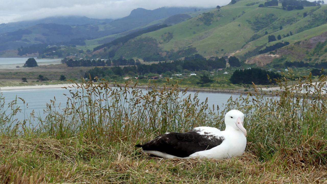 Royal Albatross Cam Launches On Bird Cams