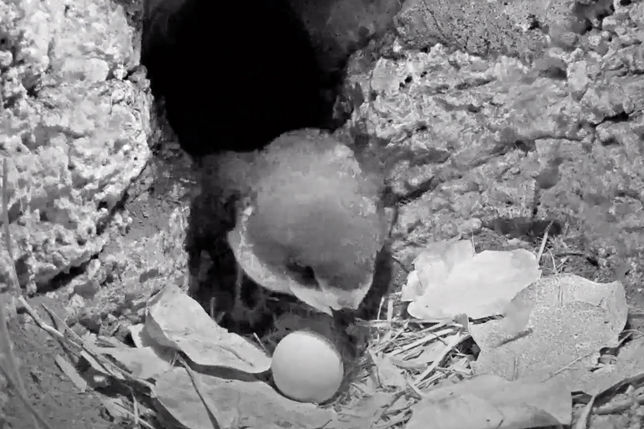 Male cahow returns from incubation duties.