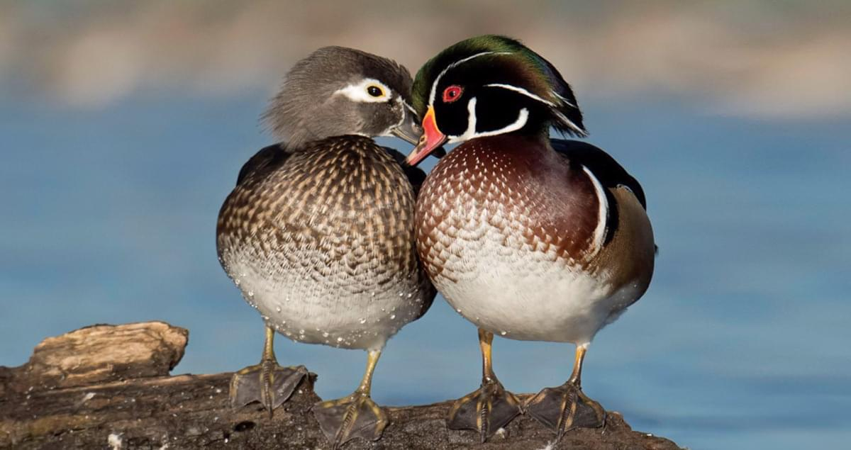 Wood Duck Life History, All About Birds, Cornell Lab of