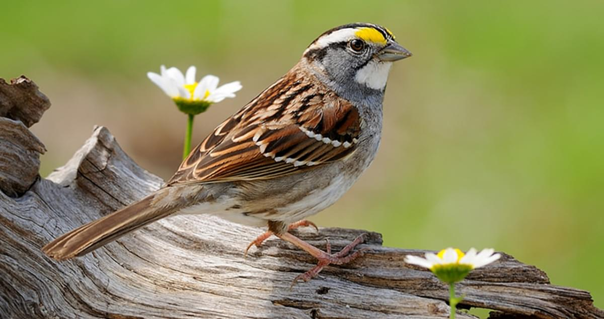 White-throated Sparrow Sounds, All About Birds, Cornell Lab of