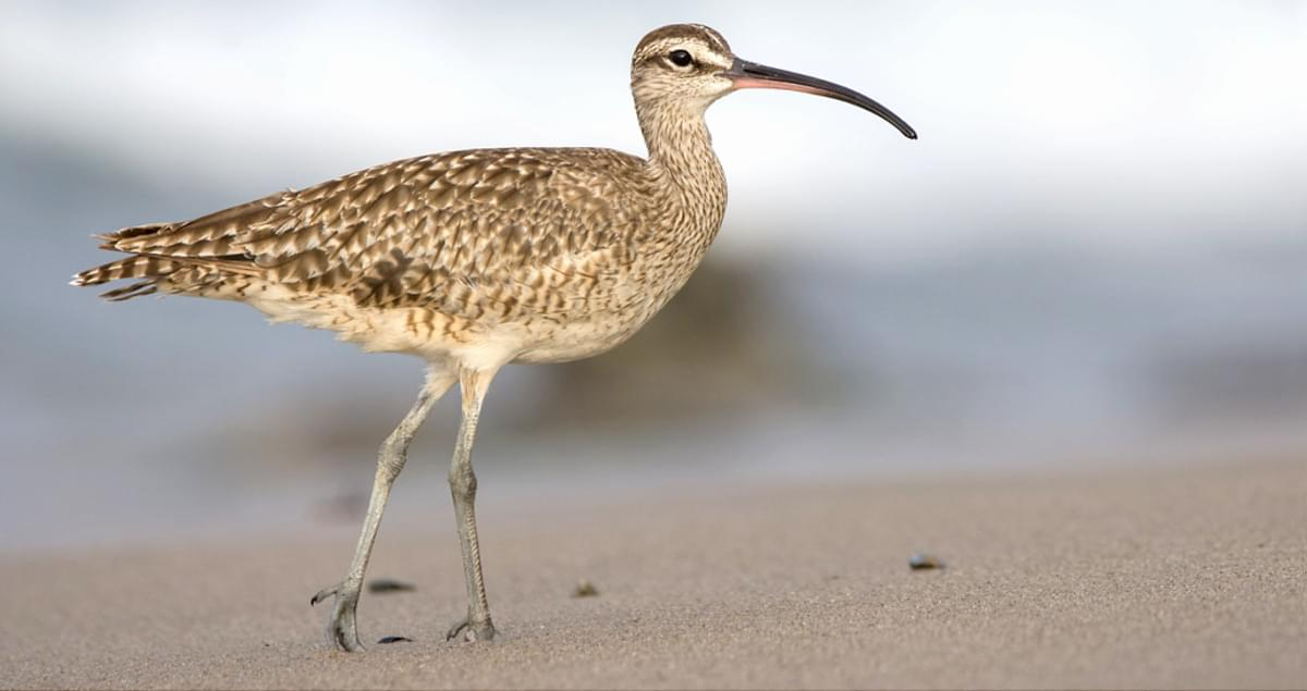 Whimbrel Overview, All About Birds, Cornell Lab of Ornithology