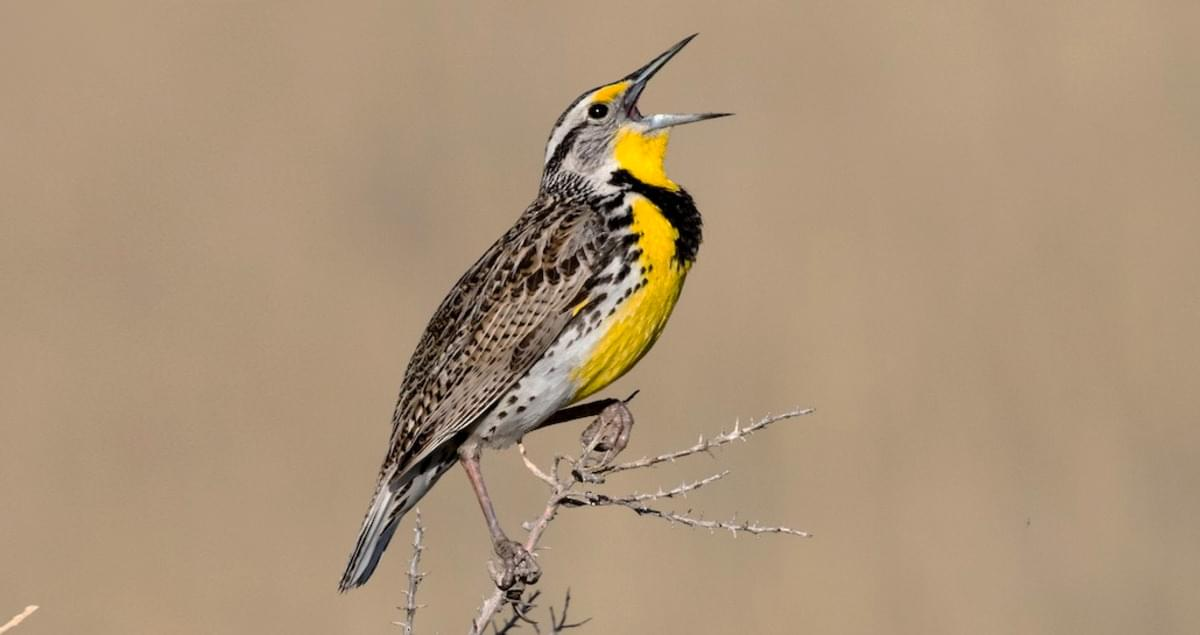 Western Meadowlark Sounds, All About Birds, Cornell Lab of