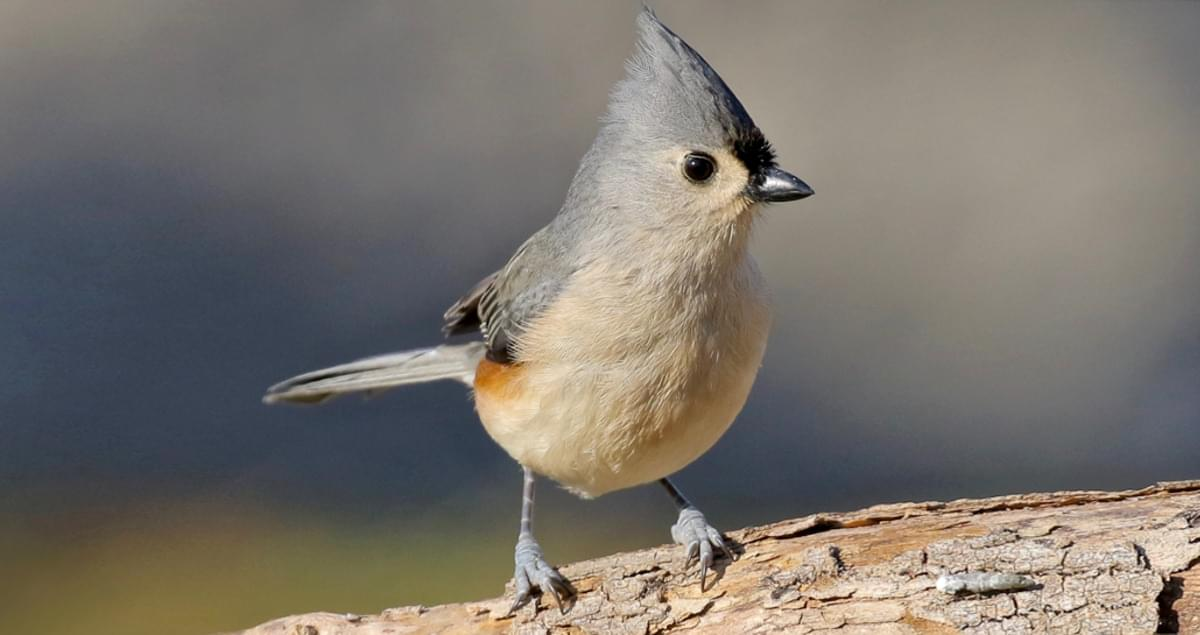Tufted Titmouse Sounds, All About Birds, Cornell Lab of Ornithology