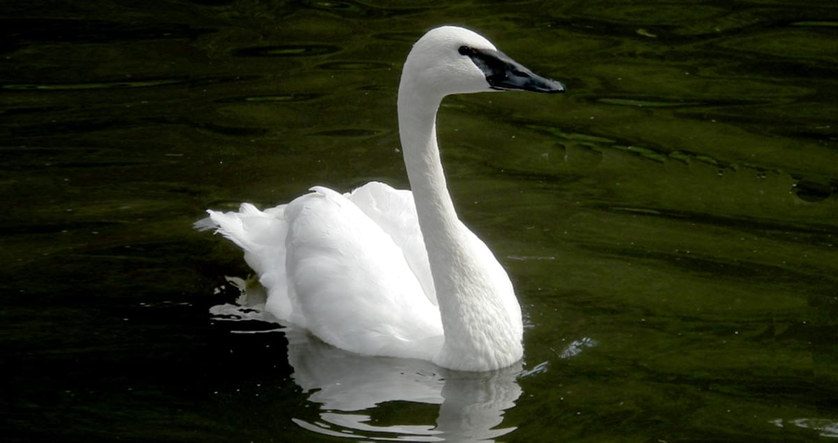 Swans Have Come Back >> Trumpeter Swan Overview All About Birds Cornell Lab Of Ornithology