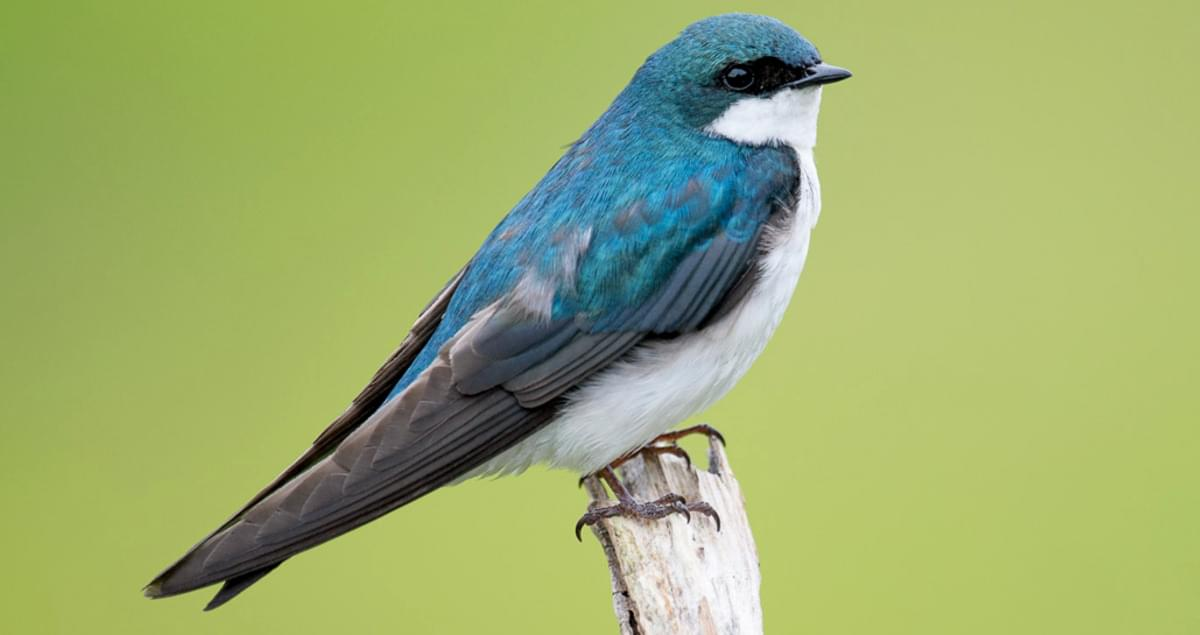 Tree Swallow Identification, All About Birds, Cornell Lab of Ornithology