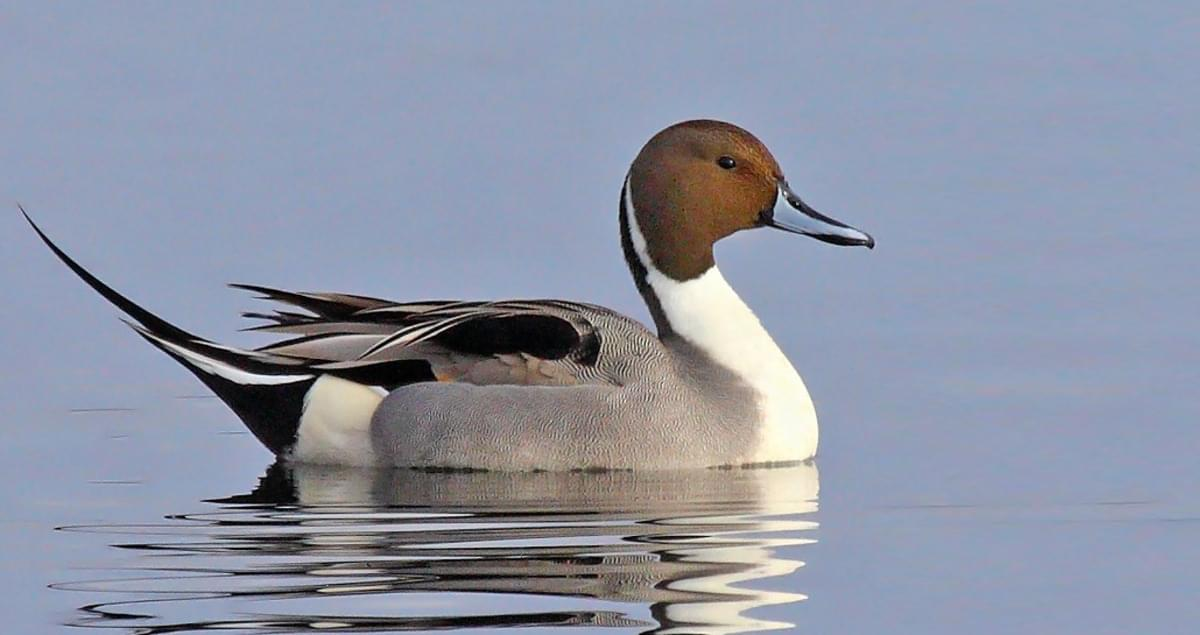 Northern Pintail Identification, All About Birds, Cornell Lab of Ornithology