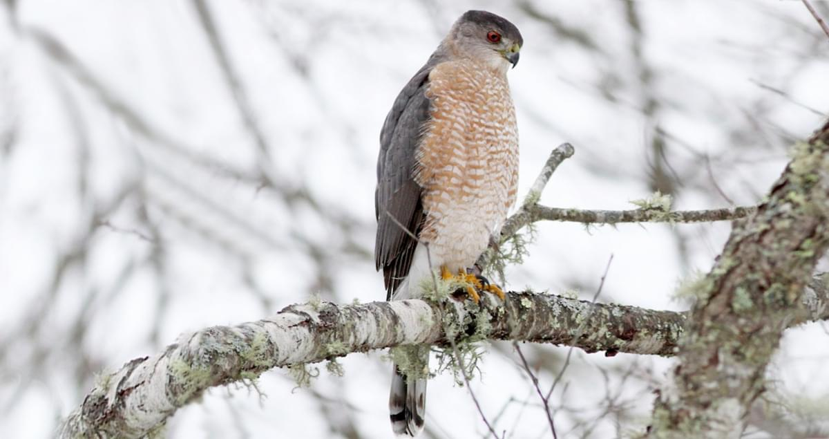 Cooper S Hawk Overview All About Birds Cornell Lab Of Ornithology
