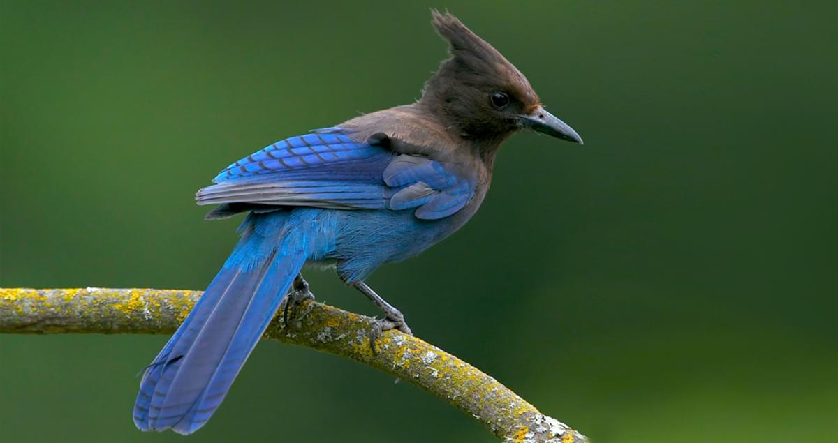 Steller's Jay Identification, All About Birds, Cornell Lab