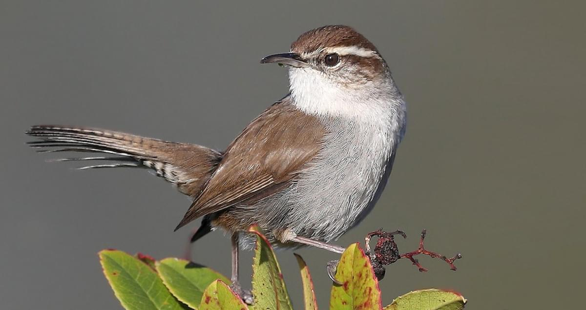 Bewick's Wren Sounds, All About Birds, Cornell Lab of
