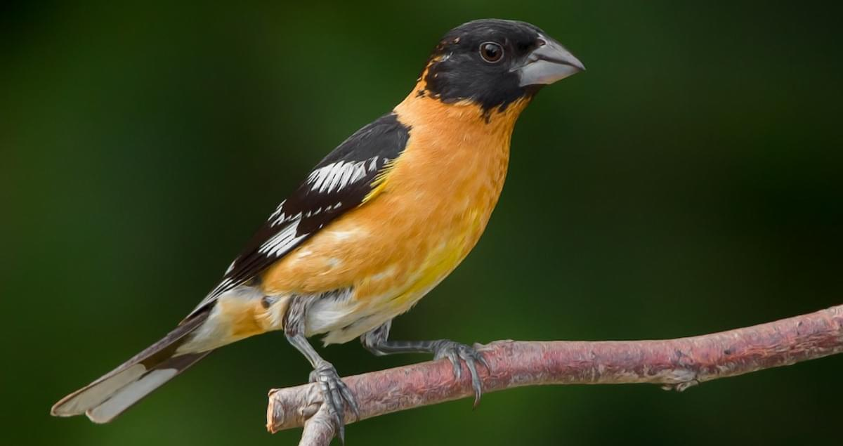 Black-headed Grosbeak Identification, All About Birds, Cornell Lab of Ornithology