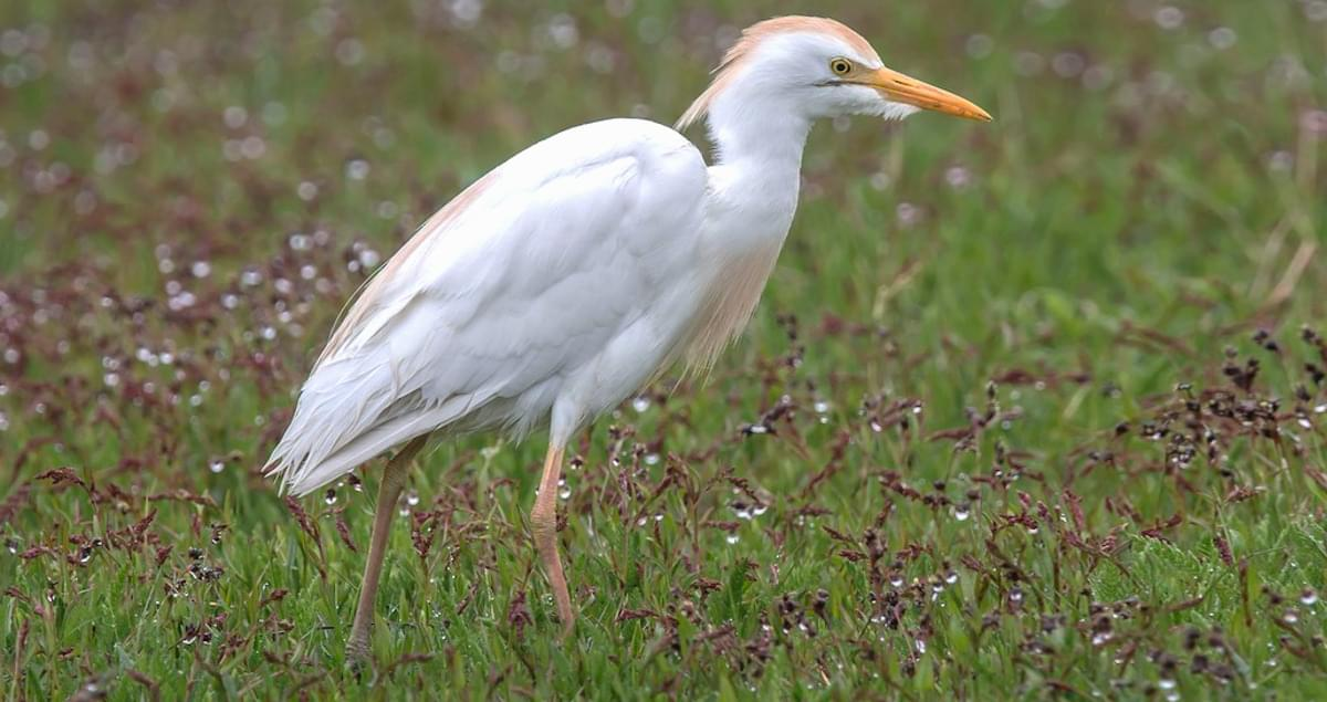 All About Birds Great Egret >> Cattle Egret Identification All About Birds Cornell Lab Of Ornithology