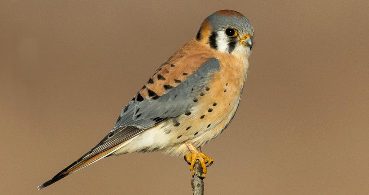 American Kestrel Overview All About Birds Cornell Lab Of Ornithology