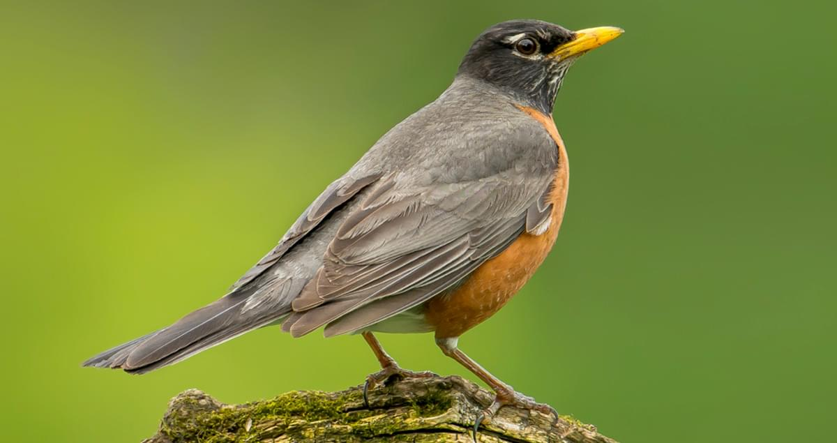 American Robin Sounds, All About Birds, Cornell Lab of Ornithology