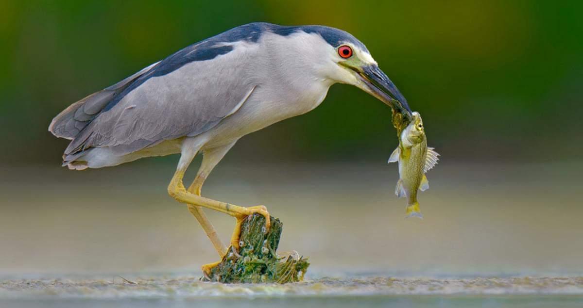 Black Crowned Night Heron Life History All About Birds Cornell Lab Of Ornithology