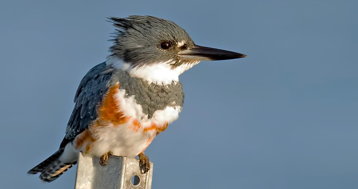 Belted Kingfisher Identification All About Birds Cornell Lab Of Ornithology