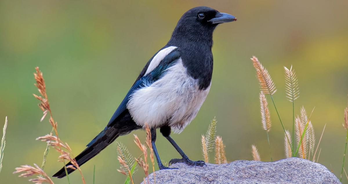 Black-billed Magpie Sounds, All About Birds, Cornell Lab of