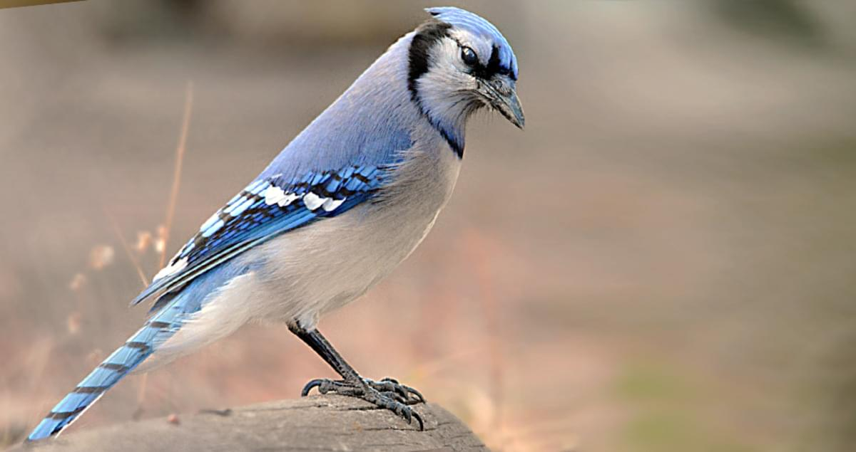 Blue Jay Life History, All About Birds, Cornell Lab of