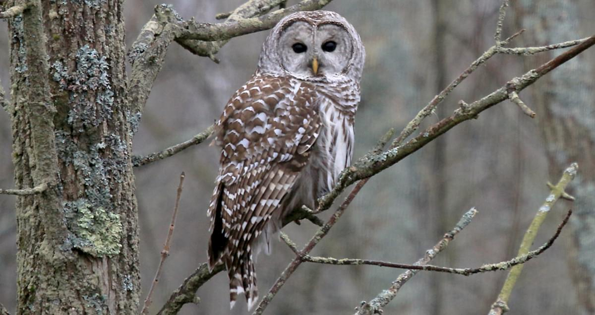 Barred Owl Identification, All About Birds, Cornell Lab of Ornithology