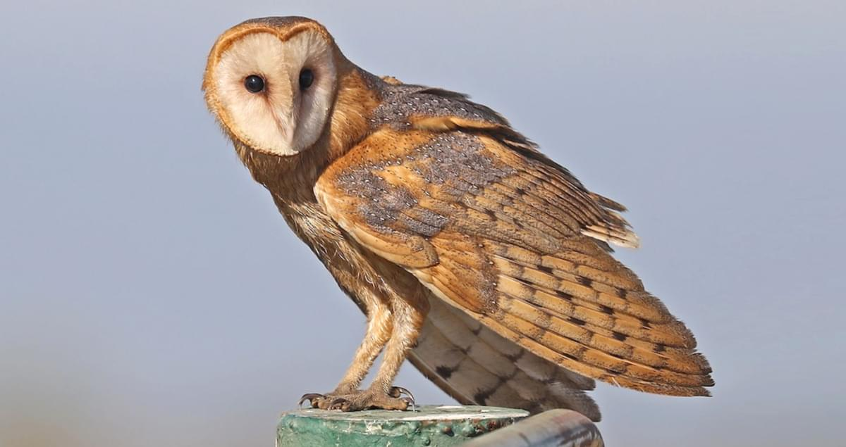 Barn Owl Identification, All About Birds, Cornell Lab of ...
