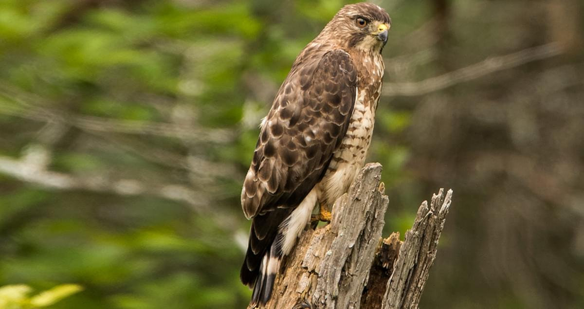 Broad Winged Hawk Identification All About Birds Cornell