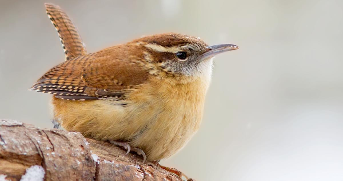 Carolina Wren Life History All About Birds Cornell Lab Of Ornithology
