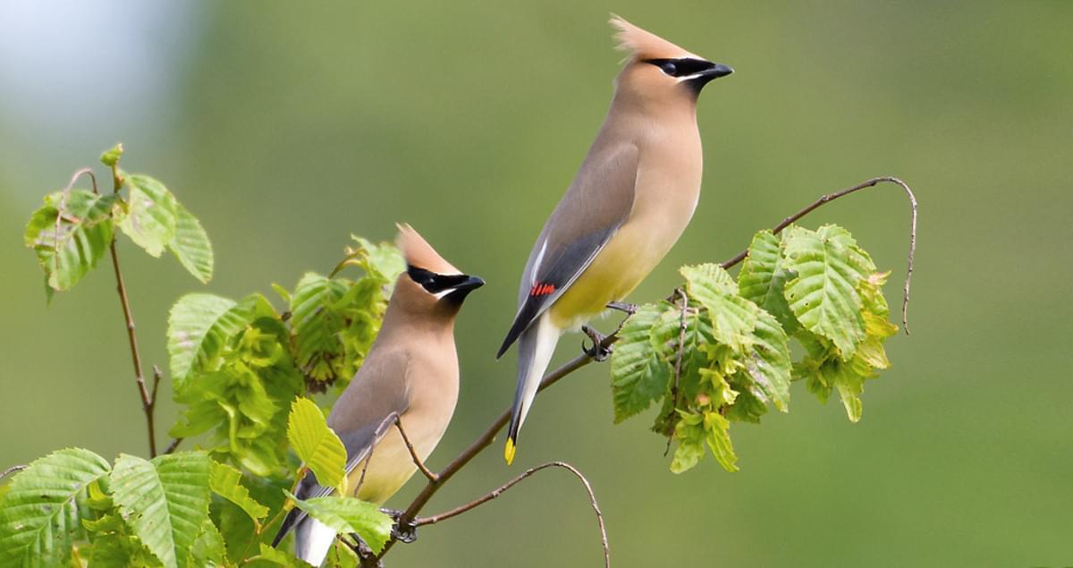 Cedar Waxwing Identification, All About Birds, Cornell Lab