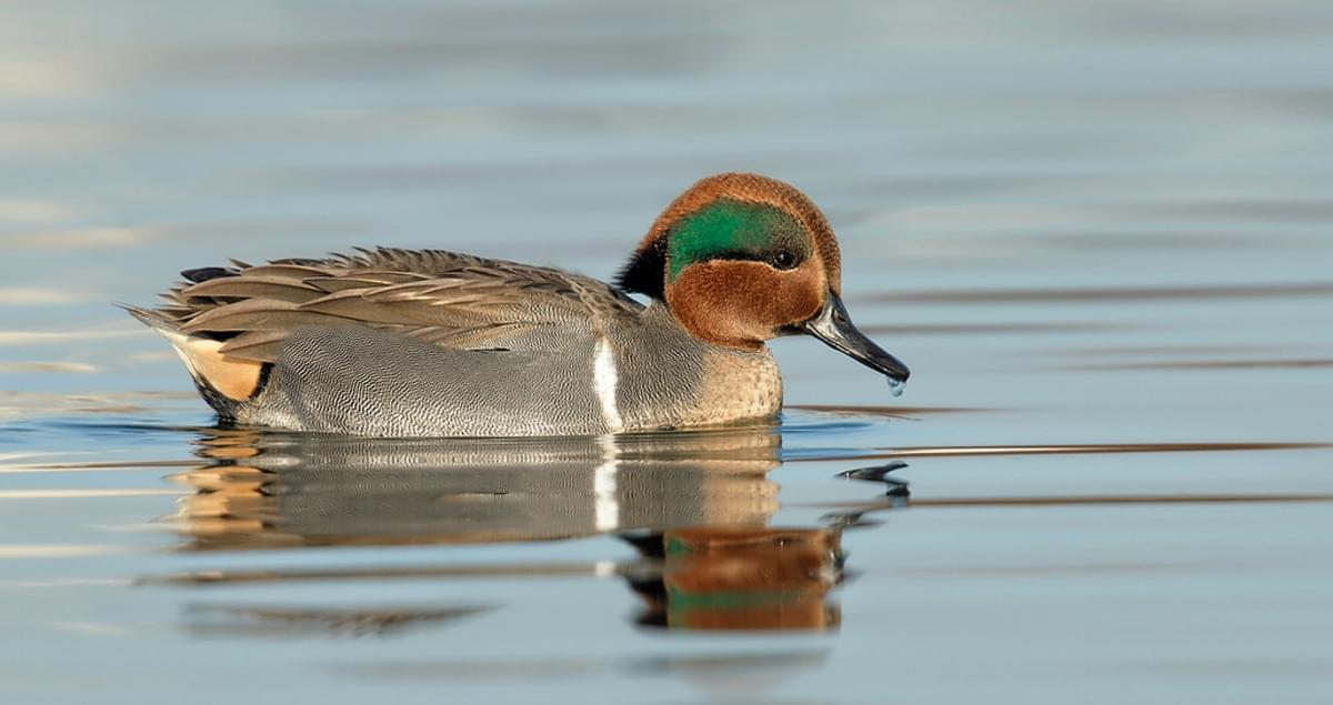 Green Winged Teal Life History All About Birds Cornell Lab