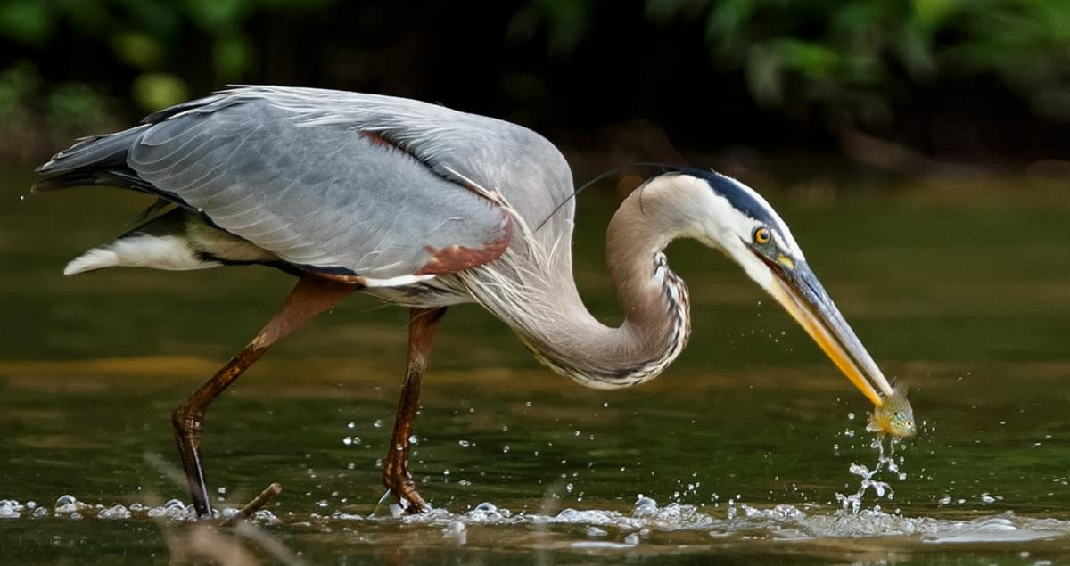 Green Heron Making Itself At Home Along >> Great Blue Heron Life History All About Birds Cornell Lab Of