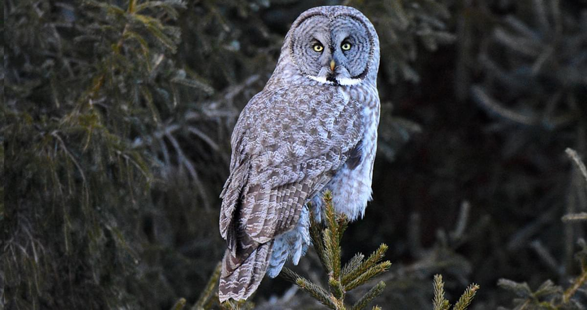 Great Gray Owl Life History, All About Birds, Cornell Lab of Ornithology
