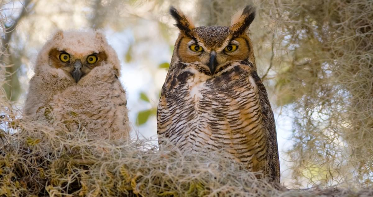 Great Horned Owl Sounds, All About Birds, Cornell Lab of Ornithology