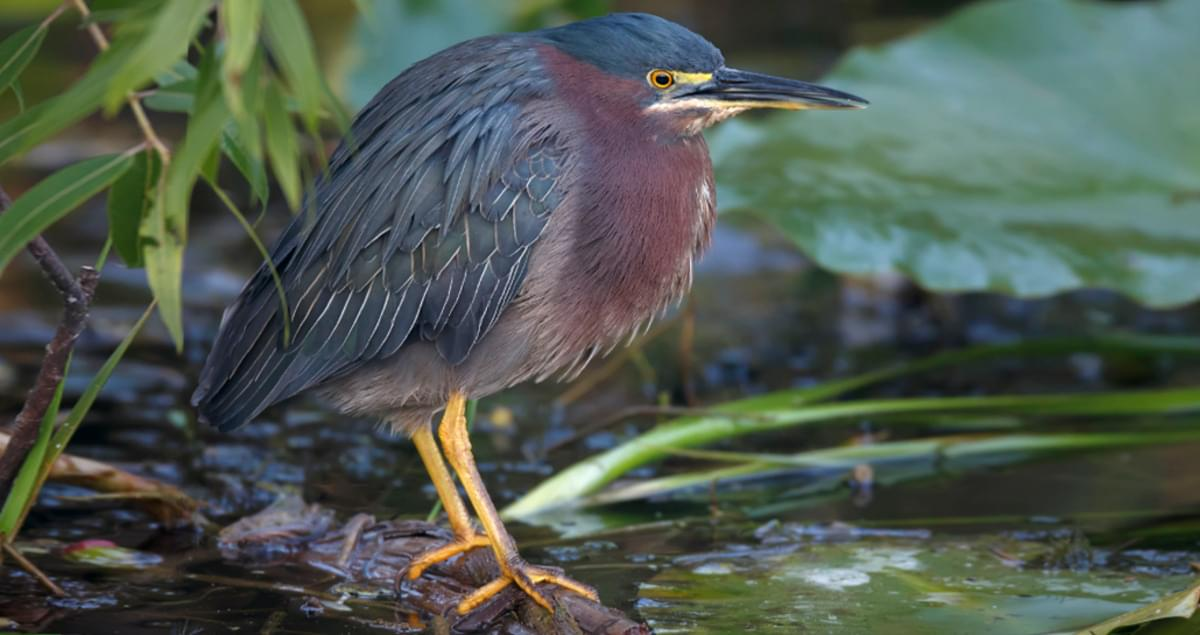 Green Heron Making Itself At Home Along >> Green Heron Life History All About Birds Cornell Lab Of Ornithology