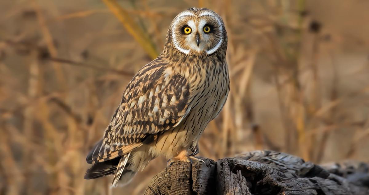 Short-eared Owl Identification, All About Birds, Cornell Lab of Ornithology