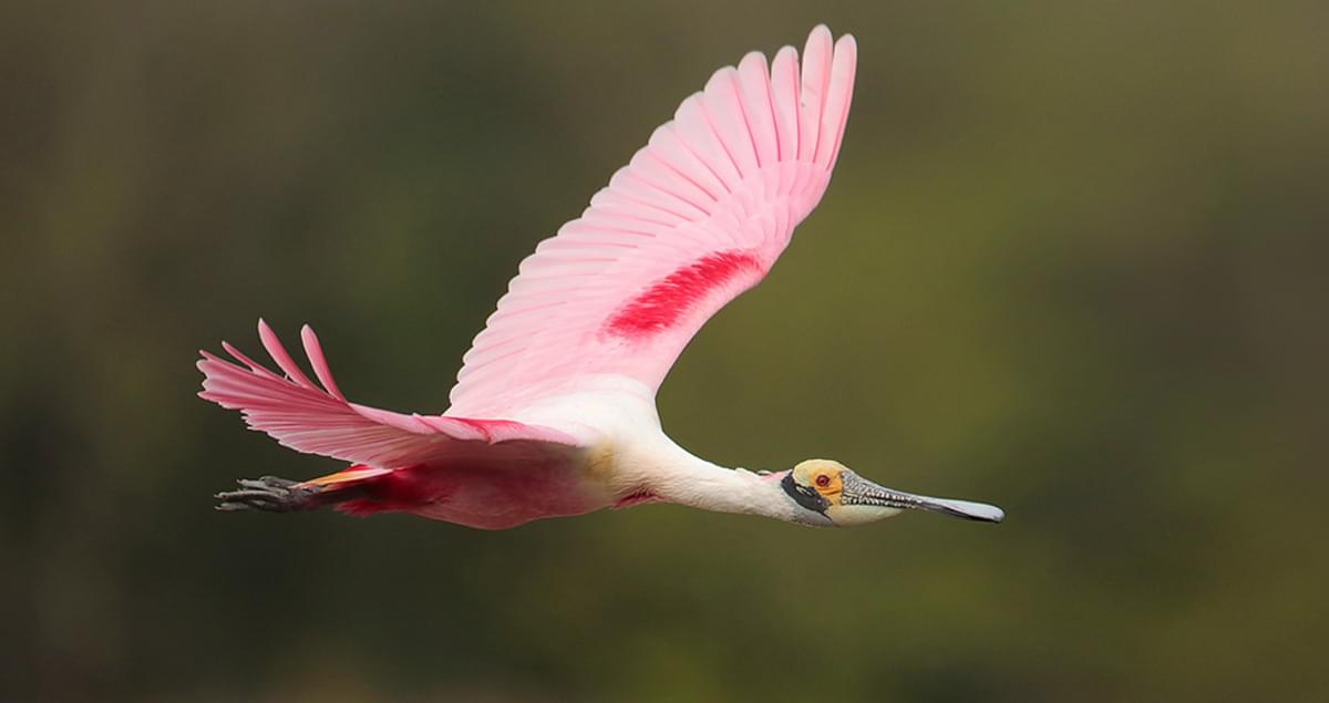 Roseate Spoonbill Sounds, All About Birds, Cornell Lab of Ornithology