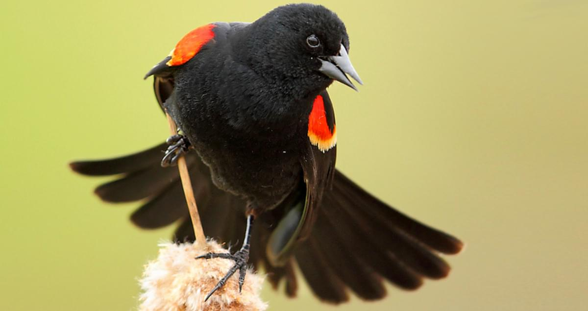 Red-winged Blackbird Sounds, All About Birds, Cornell Lab of