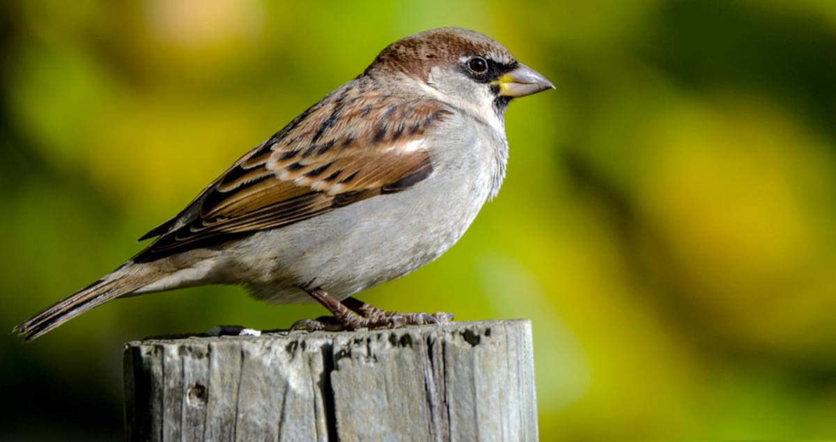 House Sparrow Life History, All About Birds, Cornell Lab of
