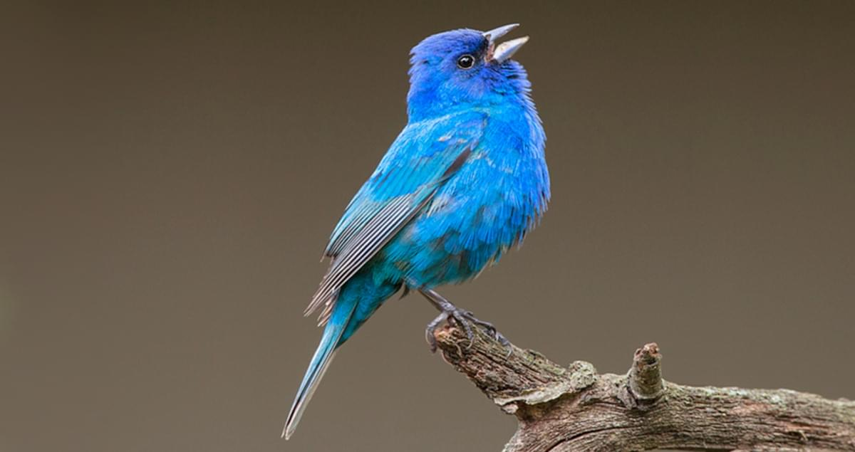 Indigo Bunting Sounds, All About Birds, Cornell Lab of