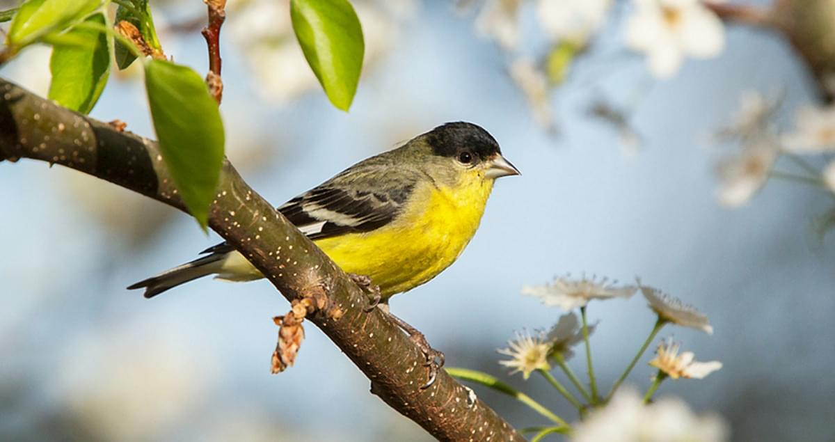 Lesser Goldfinch Overview, All About Birds, Cornell Lab of Ornithology