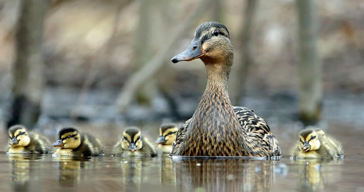 Mallard Life History, All About Birds, Cornell Lab of
