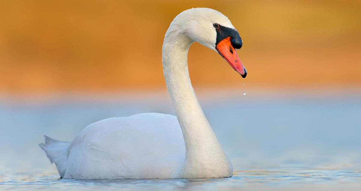 Swans Have Come Back >> Mute Swan Overview All About Birds Cornell Lab Of Ornithology
