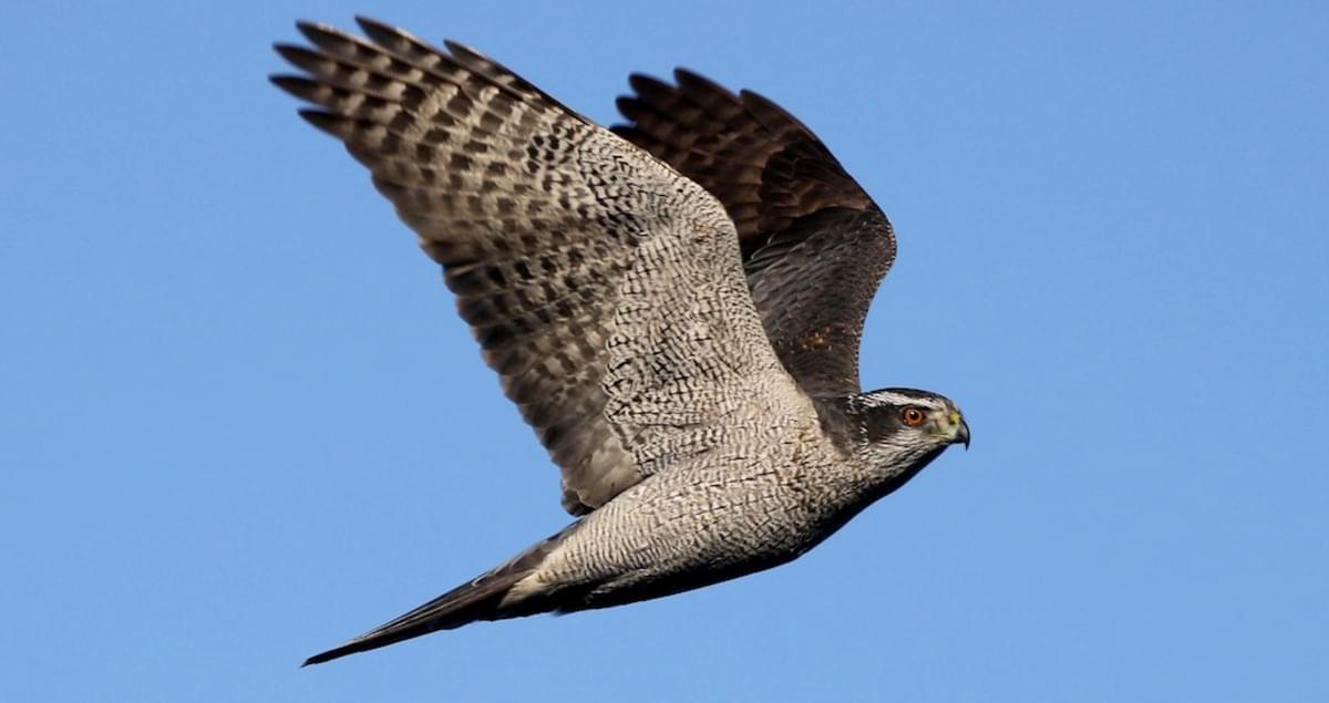 Northern Goshawk Identification, All About Birds, Cornell Lab of Ornithology