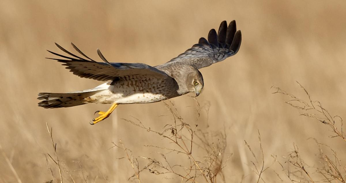 Northern Harrier Overview All About Birds Cornell Lab Of Ornithology
