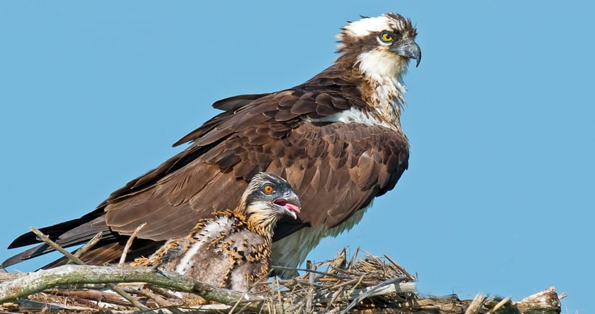Osprey Overview, All About Birds, Cornell Lab of Ornithology