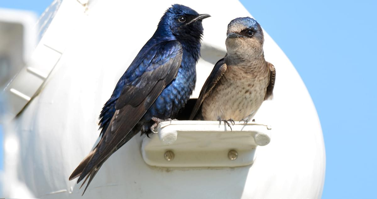 Image result for purple martin pictures