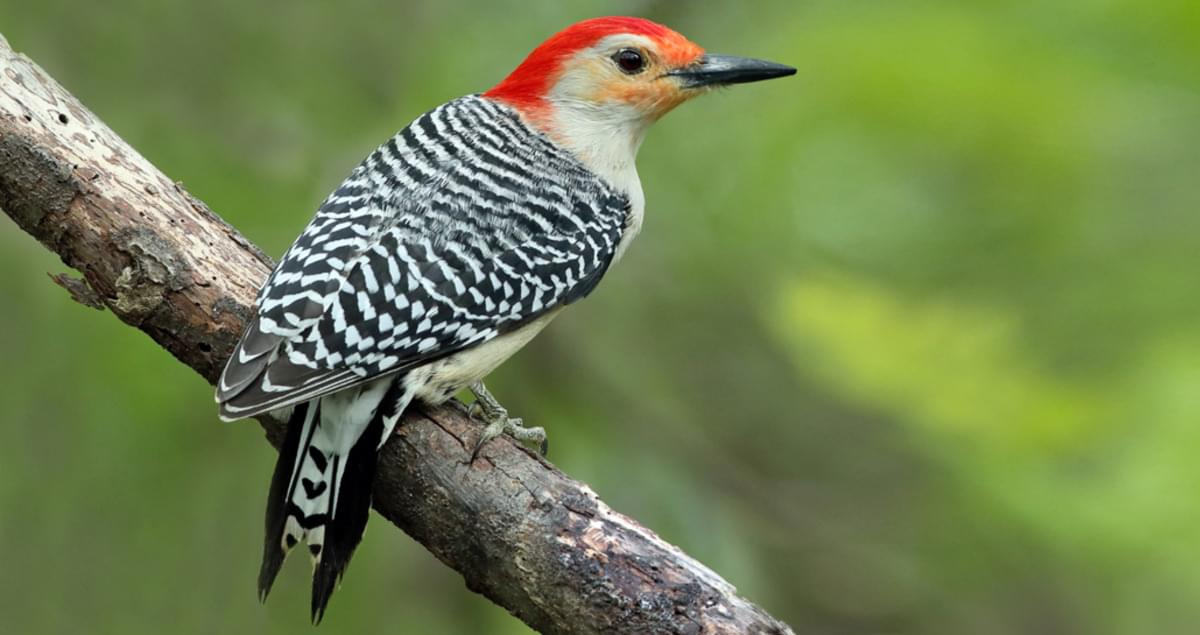 Red-bellied Woodpecker Identification, All About Birds, Cornell Lab of Ornithology