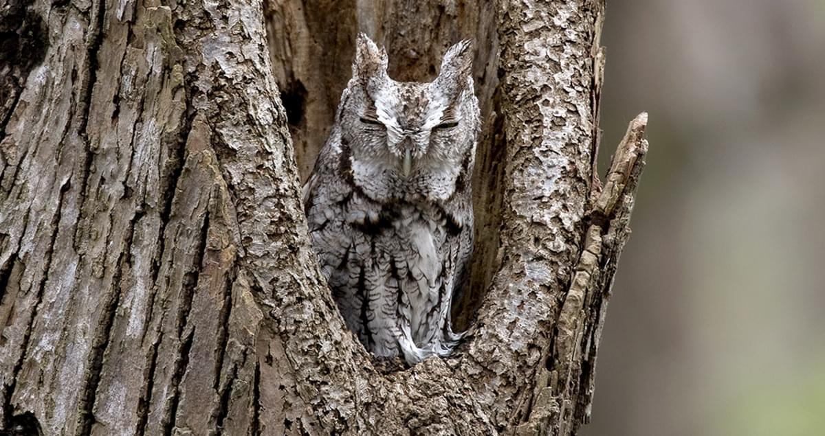 Eastern Screech-Owl Sounds, All About Birds, Cornell Lab of